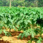 Kỹ thuật trồng cây Đu Đủ cho trái sai quanh năm, ít sâu bệnh