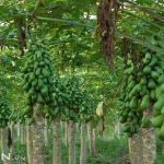 Kỹ thuật trồng cây Đu Đủ cho trái sai quanh năm, ít sâu bệnh - ky thuat trong cay du du cho trai sai quanh nam it sau benh 150x150