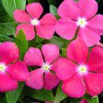 Phương pháp chăm sóc hoa Dừa cạn đón thành đạt đầu năm