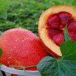 Cách trồng cây Gấc đơn giản tiện dụng