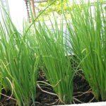 Phương pháp trồng cây Hành lá đơn giản cho mọi nhà - ky thuat trong cay hanh la 04 150x150