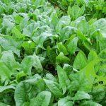 Các loại rau nhiệt đới có thích nghi với khí hậu lạnh?