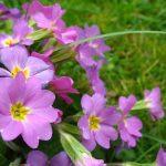 Tìm hiểu cách chăm sóc hoa Anh Thảo tươi xinh - ky thuat trong cay hoa anh thao 04 150x150