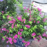 Cách chăm sóc cây hoa Giấy cho ra hoa quanh năm - ky thuat trong cay hoa giay 02 150x150