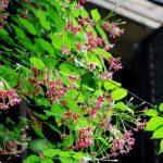 Phương pháp trồng giàn hoa Sử Quân Tử mát rượi mùa hè - ky thuat trong cay hoa giun 02 jpg 150x150