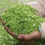 Cách trồng cây hoa Hòe cho hiệu quả kinh tế cao