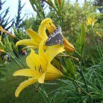 Kỹ thuật trồng hoa Kim Châm trị bệnh tại nhà - ky thuat trong cay hoa kim cham 03 150x150
