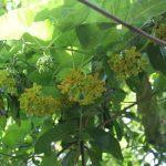 Kỹ thuật trồng cây hoa Thiên Lý tại nhà