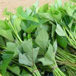 Phương pháp ươm trồng cây Khoai Lang
