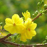 Kỹ thuật trồng và chăm sóc hoa Mai cho ngày tết - ky thuat trong cay mai vang ngay tet 11 150x150