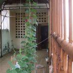 Kỹ thuật trồng cây Mướp trong thùng xốp đơn giản, sai quả nhất - ky thuat trong cay muop trong thung xop nhieu qua nhat 04 150x150