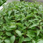Kỹ thuật trồng cây rau Đay xanh tốt trong thùng xốp - ky thuat trong cay rau day 03 150x150