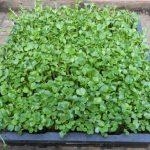 Cách trồng rau mầm không cần đất đơn giản