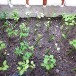 Cách trồng cây rau Ngót trong thùng xốp tiện dụng - ky thuat trong cay rau ngot 04 150x150