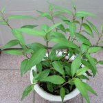 Tìm hiểu phương pháp trồng cây rau Răm trong chậu