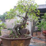 Kỹ thuật trồng bonsai cây sung dáng đẹp 'miễn chê'