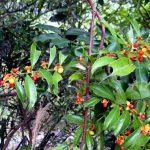 Kỹ thuật trồng cây Xạ Đen cho hiệu quả kinh tế cao