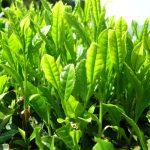 Kỹ thuật trồng Trà xanh tại nhà non xanh mơn mởn