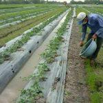 Kỹ thuật trồng Dưa Hấu cho năng suất cao - ky thuat trong dua hau cho nang suat cao 06 1 150x150