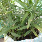 Kỹ thuật trồng gừng trong chậu nhanh lớn, nhiều củ - ky thuat trong gung trong chau nhanh lon nhieu cu 150x150