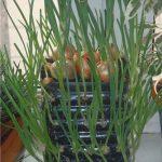Tuyệt chiêu trồng Hành lá trong chai cho rau ăn không xuể - ky thuat trong hanh la trong chai cho rau an khong xue 03 150x150