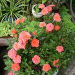 Kỹ thuật trồng hoa Hồng trong chậu đúng cách cho hoa đẹp, tươi lâu - ky thuat trong hoa hong trong chau dung cach cho hoa dep tuoi lau 02 150x150