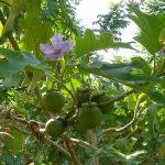 Kỹ thuật trồng Măng Cụt cho năng suất vượt trội