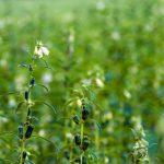 Kỹ thuật trồng mè đen đơn giản, cho năng suất không tưởng - ky thuat trong me den don gian cho nang suat khong tuong 04 150x150