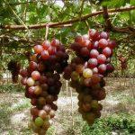 Kỹ thuật trồng Nho cho trái căng tròn, mọng nước, ít sâu bệnh