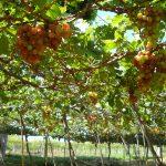 Kỹ thuật trồng Nho trên sân thượng cho quả chín mọng