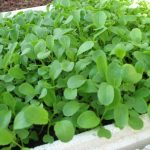 Kỹ thuật trồng rau Cải ngọt an toàn, xanh tốt - ky thuat trong rau cai ngot an toan xanh tot 01 150x150