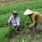 Kỹ thuật trồng rau Muống cạn xanh non, an toàn tại nhà - ky thuat trong rau muong can xanh non an toan tai nha 02 150x150