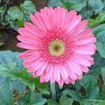 Kỹ thuật trồng và chăm sóc cây hoa Đồng Tiền dịp Tết