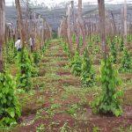 Kỹ thuật trồng và chăm sóc Tiêu cho năng suất vượt trội - ky thuat trong va cham soc tieu cho nang suat vuot troi 01 150x150