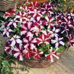Kỹ thuật trồng và chăm sóc hoa Dạ Yến Thảo - ky thuat cham soc cay da yen thao 3 150x150
