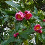 Kỹ thuật trồng và chăm sóc hoa Hải Đường đỏ chơi Tết - ky thuat trong cay cham soc hoa hai duong 2 150x150