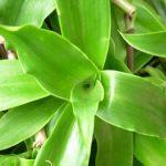 Giới thiệu về cây Lược vàng - luoc vang 150x150