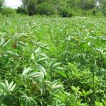 Bình Định: Mô hình xen canh cho năng suất cây trồng cao - mo hinh trong xen canh cho nang suat chat luong cao jpg 150x150