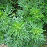 Cách trồng cây Ngải Cứu đa dụng tại nhà