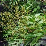 Kỹ thuật chăm sóc, phòng trị bệnh cho cây Nhãn thời kỳ chuẩn bị ra hoa, đậu quả non - nhan 150x150