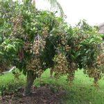 Phân bón Lâm Thao - nguồn năng lượng cho cây Nhãn sai, ngọt - phan bon lam thao nguon nang luong cho cay nhan sai ngot 150x150
