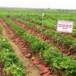 Phương pháp ươm trồng cây Khoai Lang - phuong phap uom trong cay khoai lang 150x150