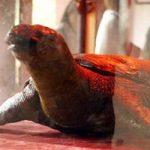 Cụ Rùa Hồ Gươm sẽ được bảo quản theo phương pháp nhựa hóa