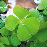 Vị thuốc của cây cỏ Bợ bốn lá - rau bo 150x150