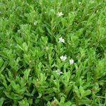 Bài thuốc chữa bệnh của cây rau Đắng biển - rau dang bien 150x150