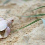 Rùa con bạch tạng hiếm gặp nhất địa cầu xuất hiện trên bờ biển Úc