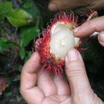 Cách phòng trừ ruồi đục trái Chôm Chôm