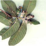 Phòng trừ bệnh thường gặp trên cây ổi