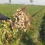Chế phẩm vi khuẩn nốt sần giúp tăng năng suất cho cây Lạc ( Đậu Phụng )