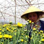 Đèn LED hỗ trợ tăng năng suất hoa Cúc cắt cành tại Đà Lạt - tang nang suat 122a 150x150
